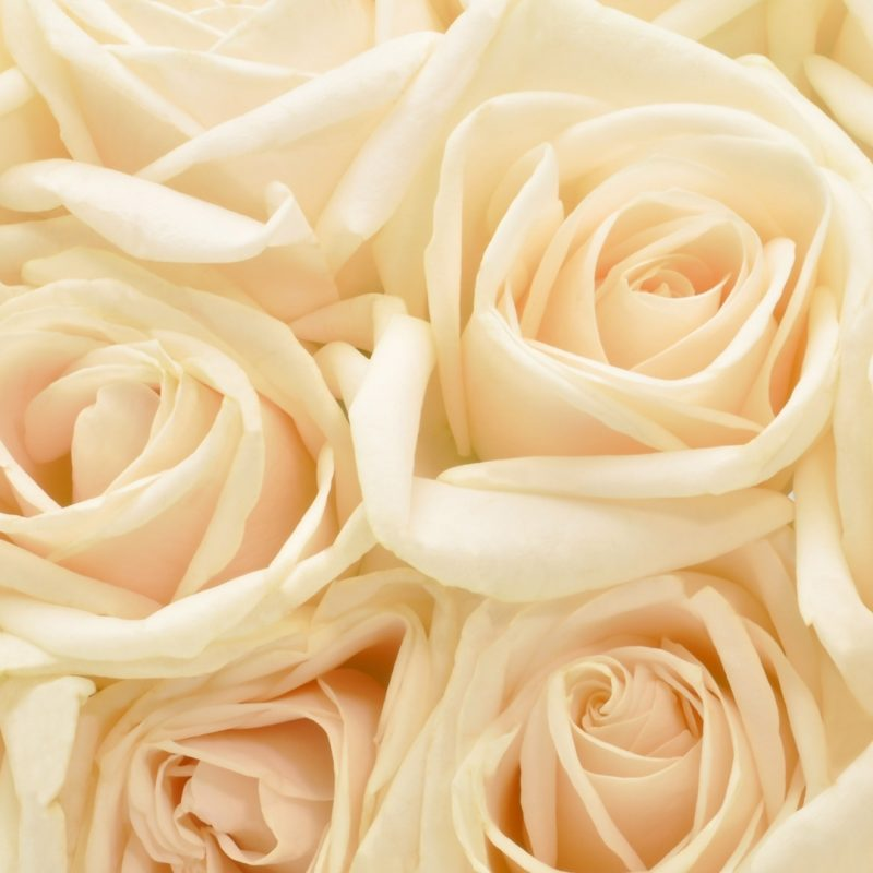 10 New White Roses Background Tumblr FULL HD 1920×1080 For PC Background 2018 free download white rose red roses wallpapers for iphone 5 hq backgrounds hd 800x800