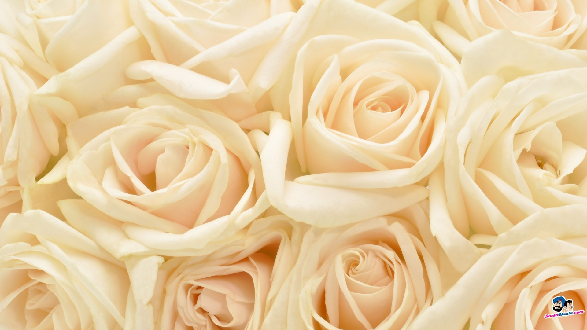 white rose red roses wallpapers for iphone 5, hq backgrounds | hd