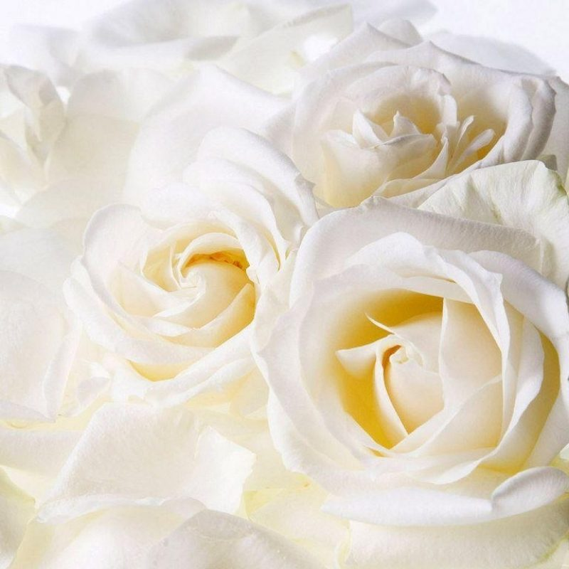 10 New White Roses Background Tumblr FULL HD 1920×1080 For PC Background 2018 free download white roses backgrounds wallpaper cave 800x800