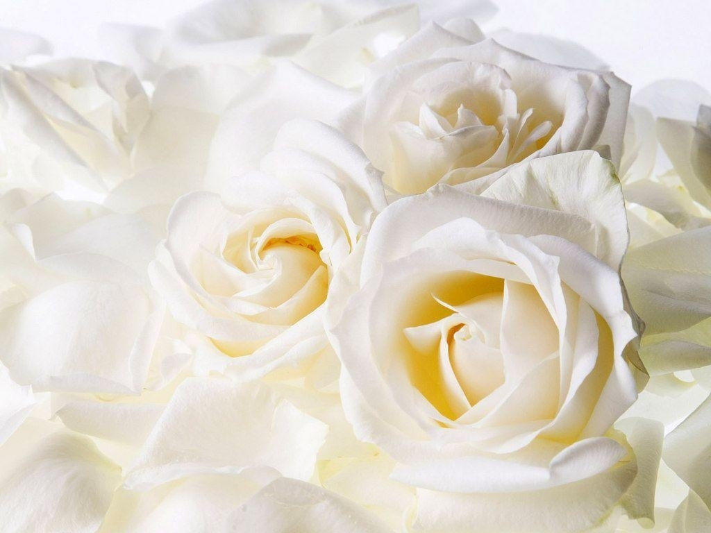 white roses backgrounds - wallpaper cave