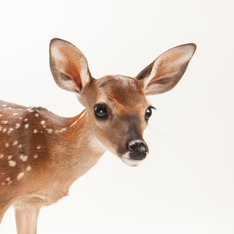10 Latest Images Of Deers FULL HD 1920×1080 For PC Desktop 2021 free download white tailed deer national geographic 800x800