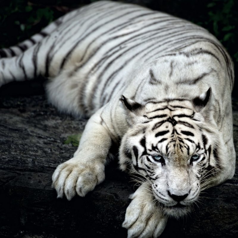 10 Top White Tiger Hd Wallpapers 1080p Full Hd 1080p For Pc