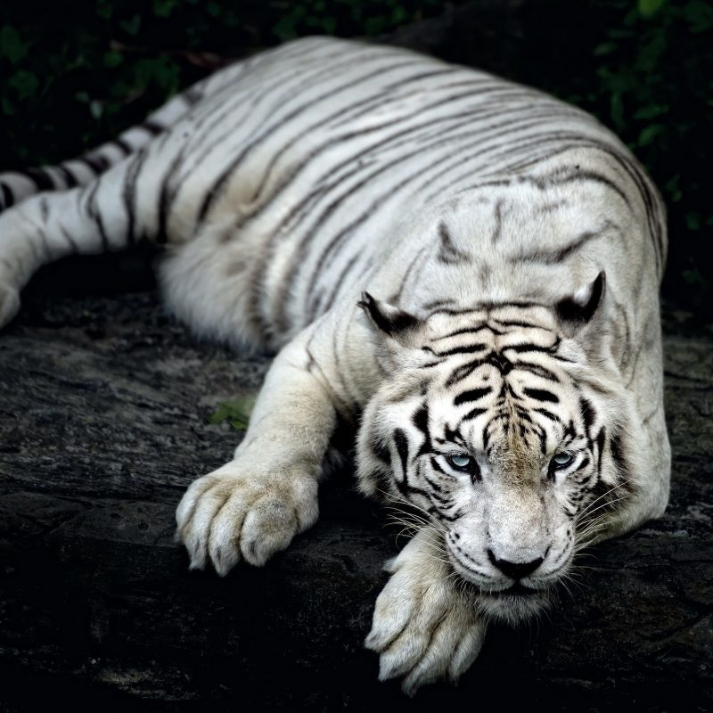 10 Most Popular Pictures Of White Tigers FULL HD 1920×1080 For PC Background 2020 free download white tiger animal wallpapers in jpg format for free download 800x800
