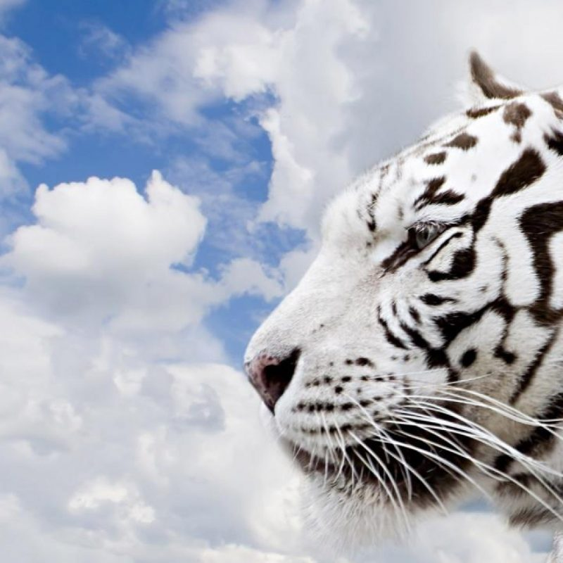 10 Best White Tiger Hd Wallpapers 1920X1080 FULL HD 1080p For PC Background 2020 free download white tiger background hd wallpaper 800x800