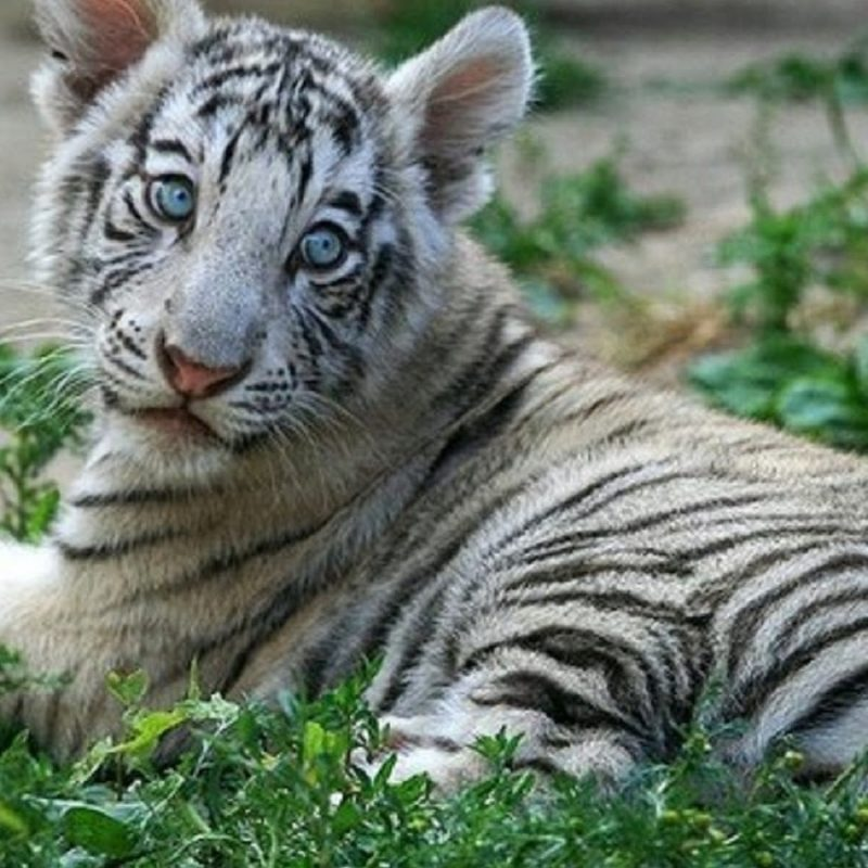 10 Most Popular Pictures Of Baby White Tigers FULL HD 1080p For PC Desktop 2021 free download white tiger cubs wallpapers images photos pictures backgrounds 800x800