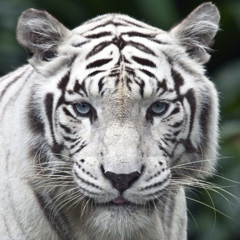 10 Best White Tiger Hd Wallpapers 1920X1080 FULL HD 1080p For PC Background 2020 free download white tiger e29da4 4k hd desktop wallpaper for 4k ultra hd tv e280a2 wide 800x800