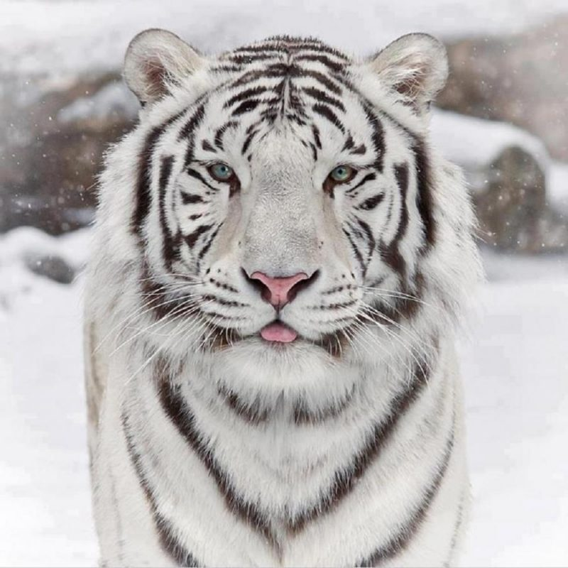 10 Most Popular Pictures Of White Tigers FULL HD 1920×1080 For PC Background 2018 free download white tiger images white tigers hd wallpaper and background photos 800x800