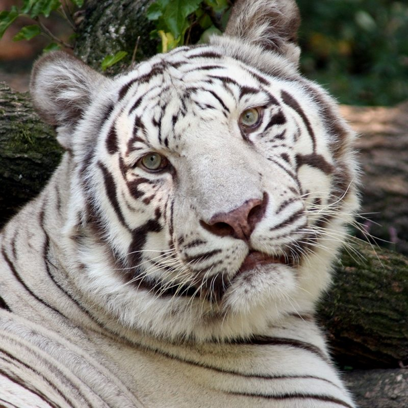 10 Most Popular Pictures Of White Tigers FULL HD 1920×1080 For PC Background 2018 free download white tiger the cincinnati zoo botanical garden 800x800