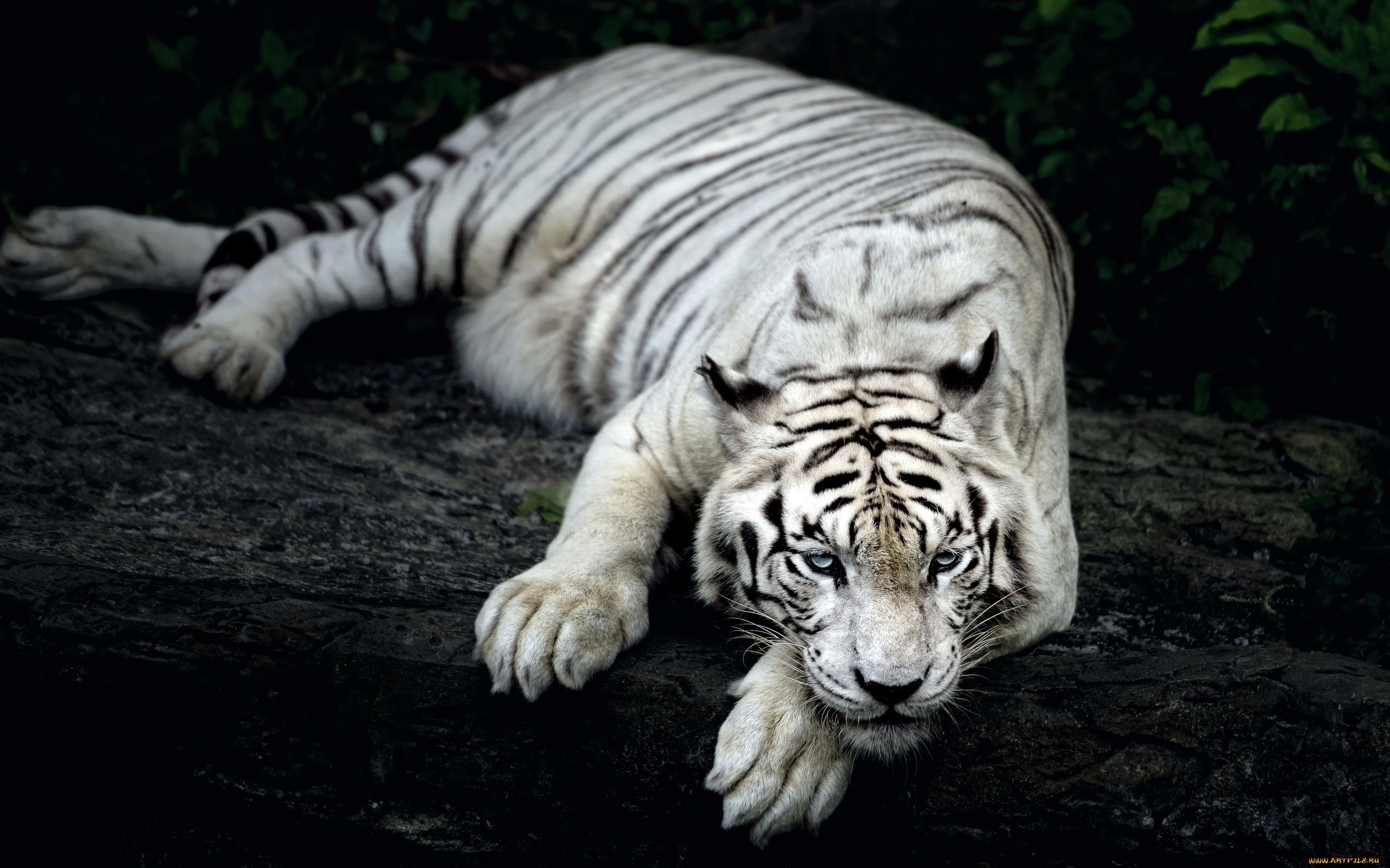 white tiger wallpaper wallpapers for free download about (3,203