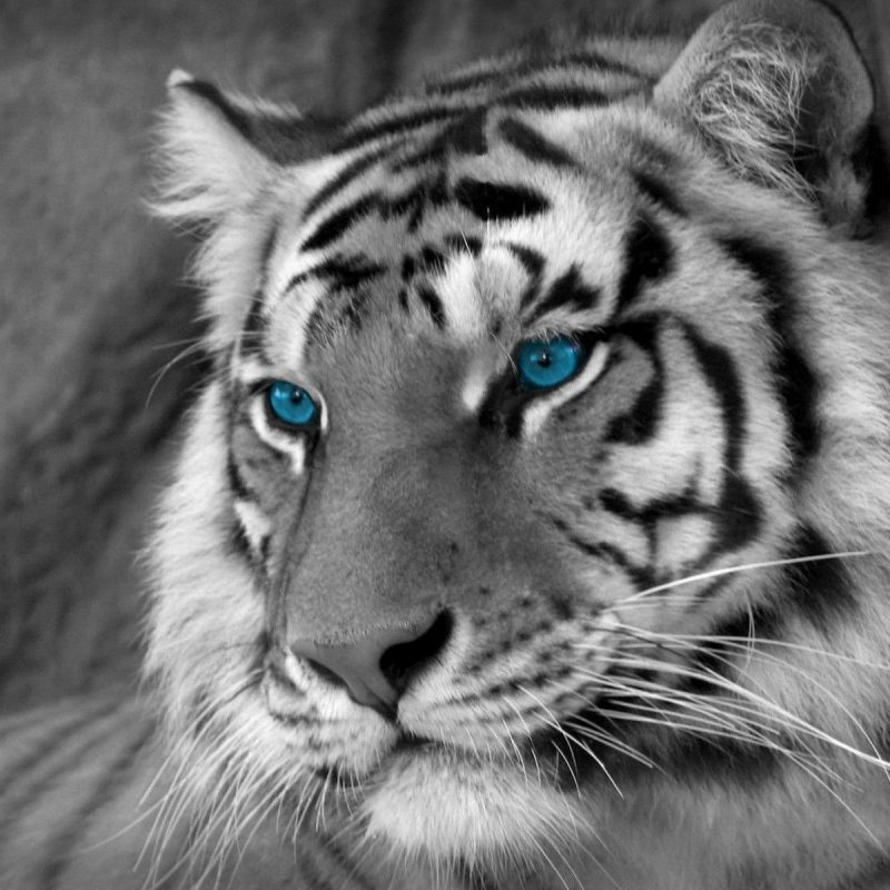 10 Top White Tiger Hd Wallpapers 1080P FULL HD 1080p For PC Background 2018 free download white tiger wallpapers 49 desktop images of white tiger white 1 800x800