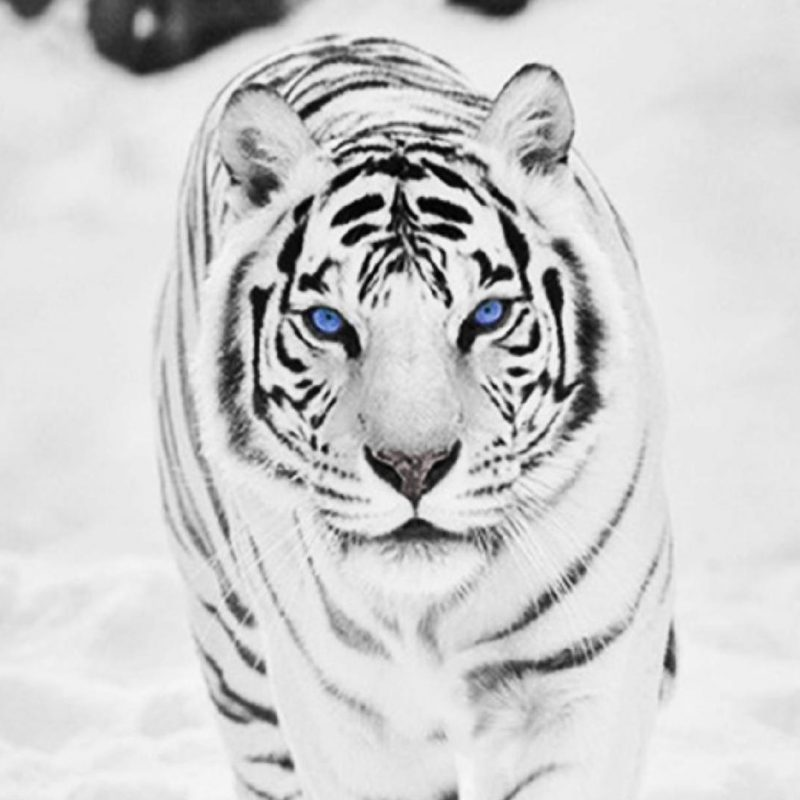 10 Top White Tiger Hd Wallpapers 1080P FULL HD 1080p For PC Background 2018 free download white tiger wallpapers 49 desktop images of white tiger white 800x800