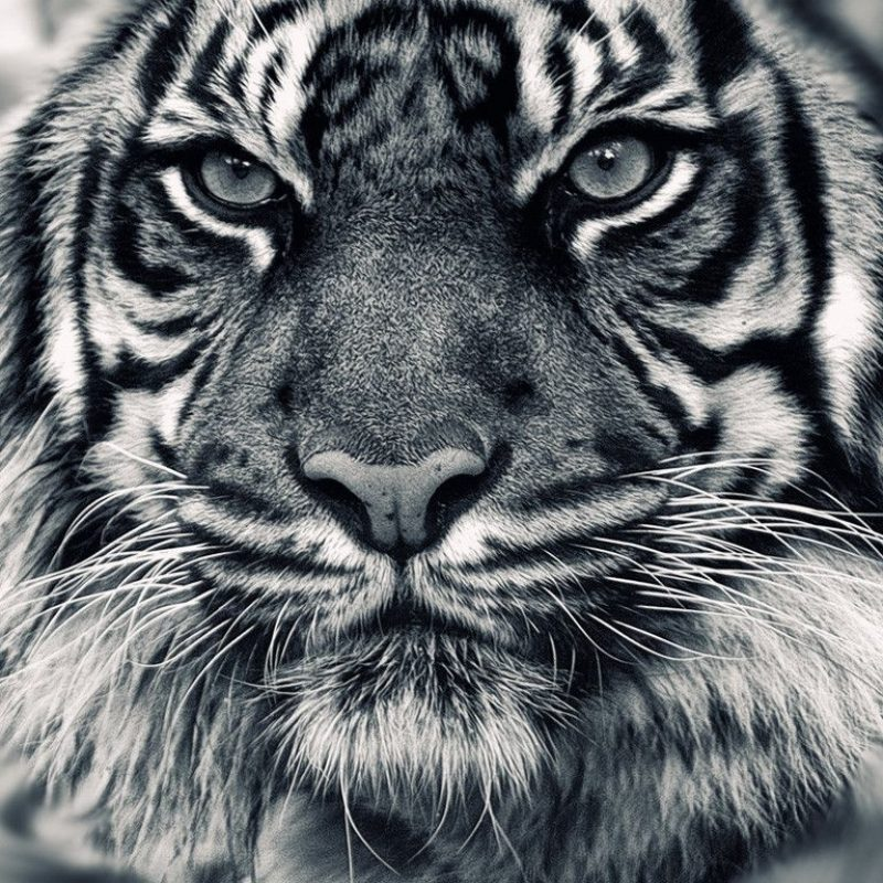 10 Best Wallpapers Of White Tigers FULL HD 1920×1080 For PC Background 2021 free download white tiger wallpapers get free top quality white tiger wallpapers 800x800
