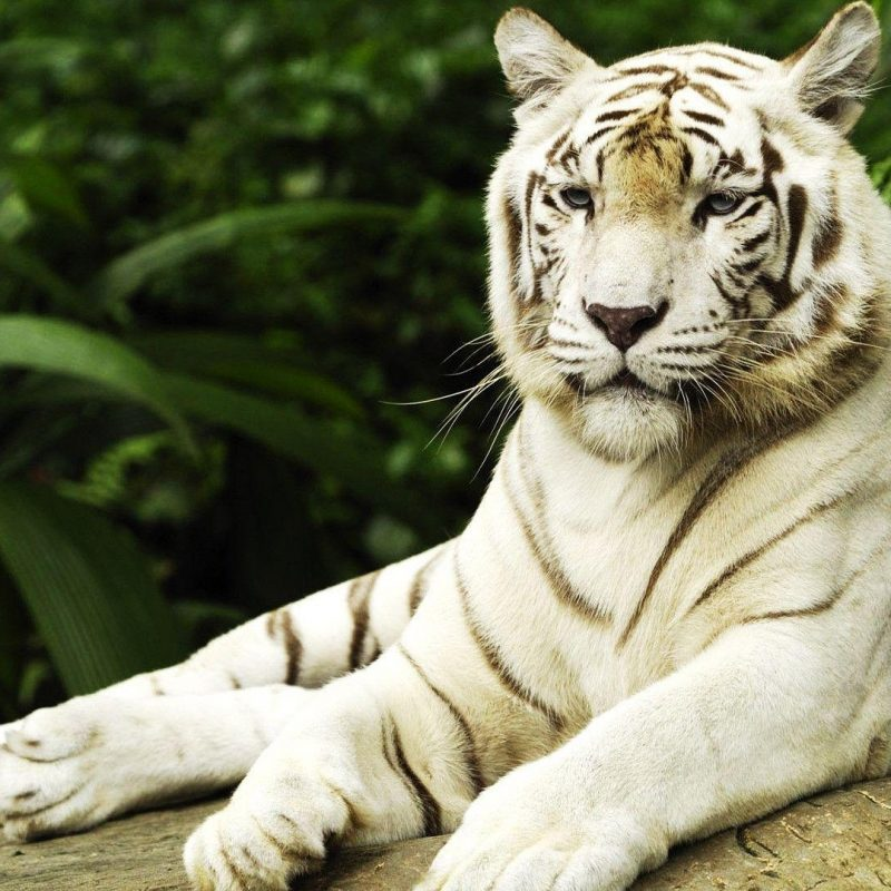10 Top White Tiger Hd Wallpapers 1080P FULL HD 1080p For PC Background 2018 free download white tiger wallpapers hd wallpaper cave 1 800x800