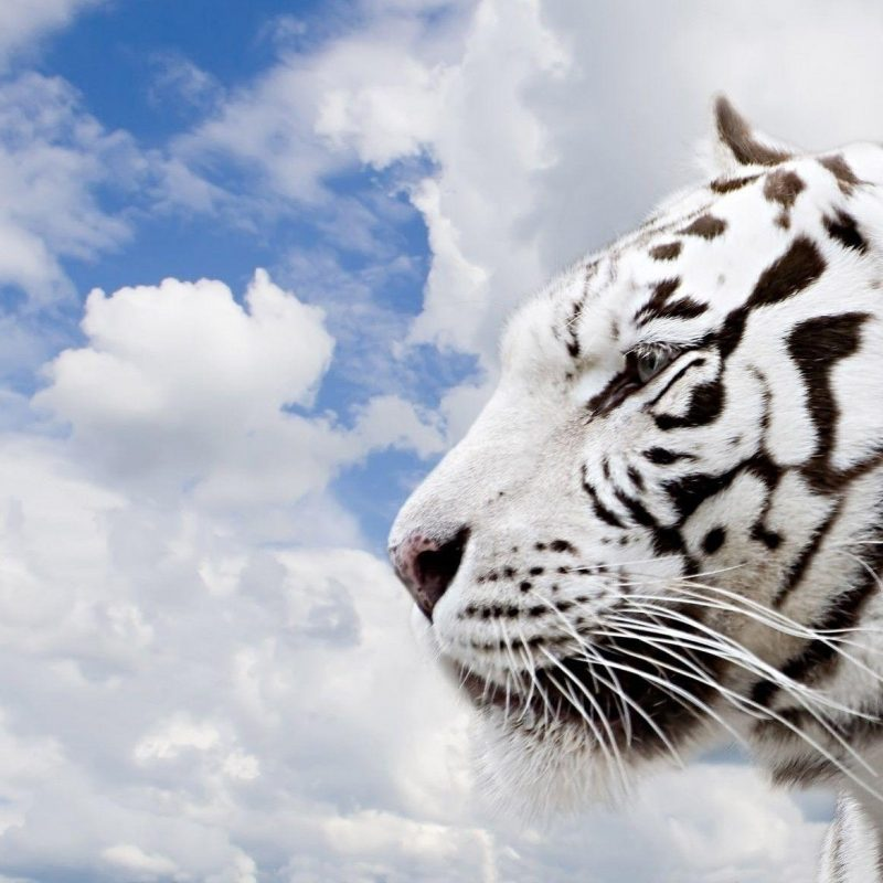 10 Top White Tiger Hd Wallpapers 1080P FULL HD 1080p For PC Background 2018 free download white tiger wallpapers hd wallpaper cave 2 800x800