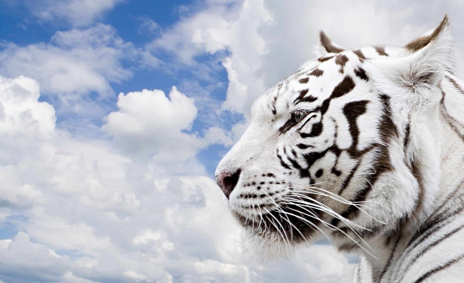 10 top white tiger hd wallpapers 1080p full hd 1080p for