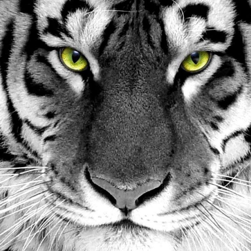 10 Best Wallpapers Of White Tigers FULL HD 1920×1080 For PC Background 2020 free download white tiger wallpapers hd wallpaper cave 3 800x800