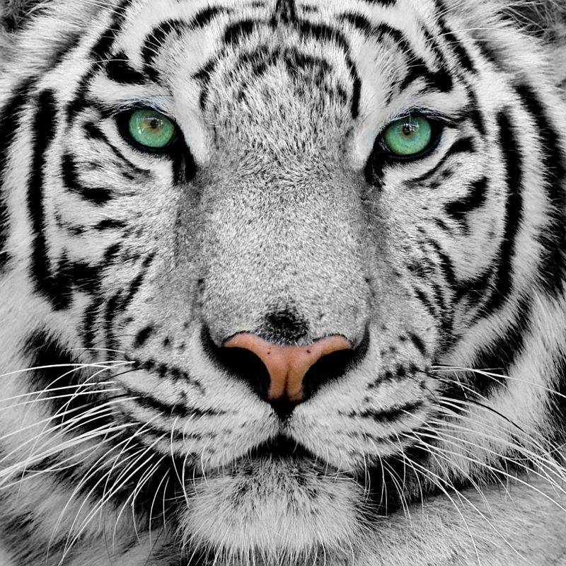 10 Best Wallpapers Of White Tigers FULL HD 1920×1080 For PC Background 2020 free download white tiger widescreen wallpapers 08198 baltana 800x800