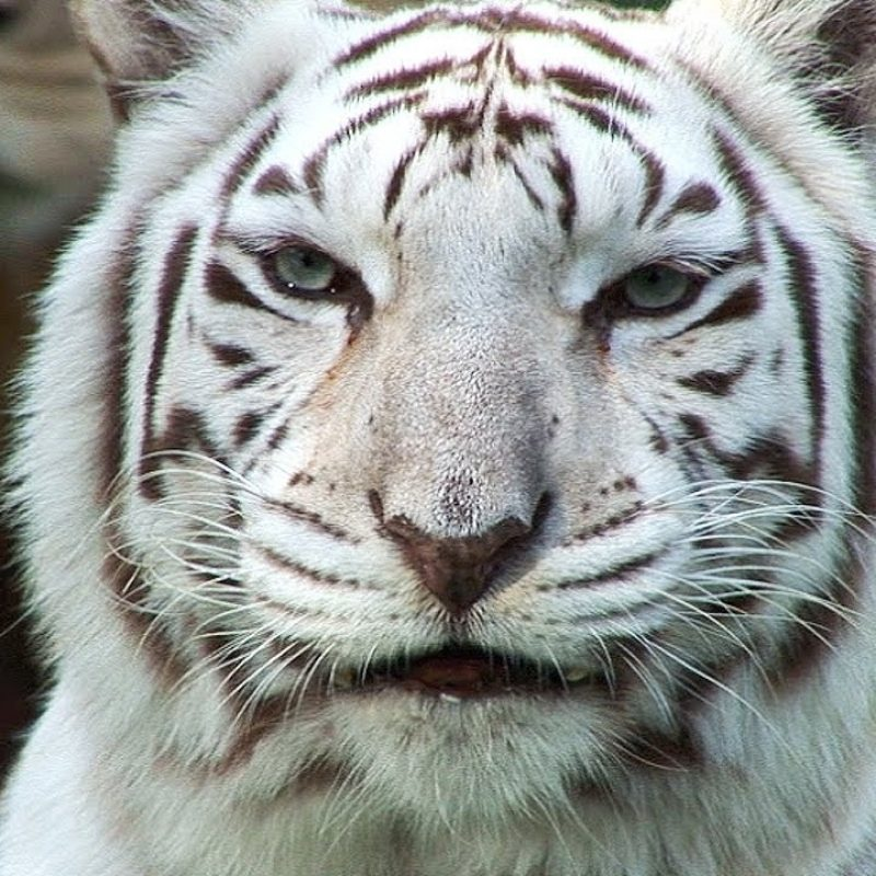 10 Most Popular Pictures Of White Tigers FULL HD 1920×1080 For PC Background 2018 free download white tigers cruelty not conservation youtube 800x800