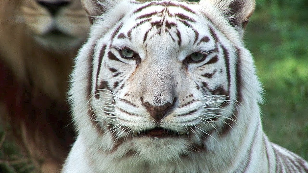 white tigers - cruelty not conservation. - youtube