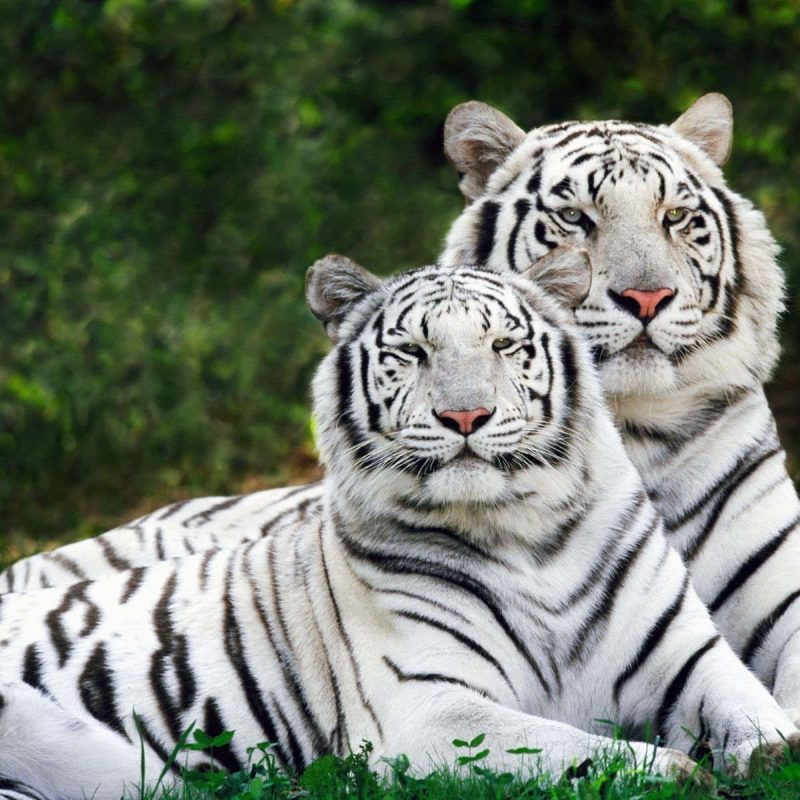 10 Most Popular Pictures Of White Tigers FULL HD 1920×1080 For PC Background 2018 free download white tigers resting pictures photos and images for facebook 800x800