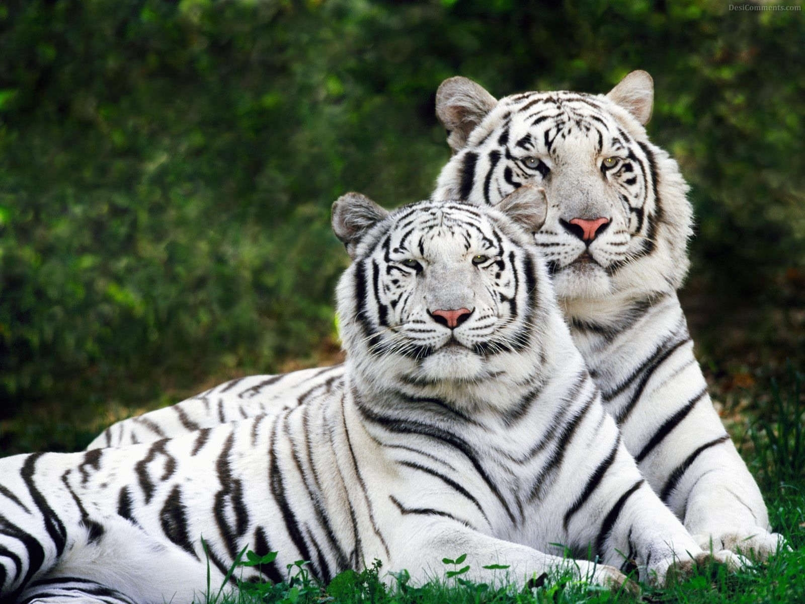 white tigers resting pictures, photos, and images for facebook