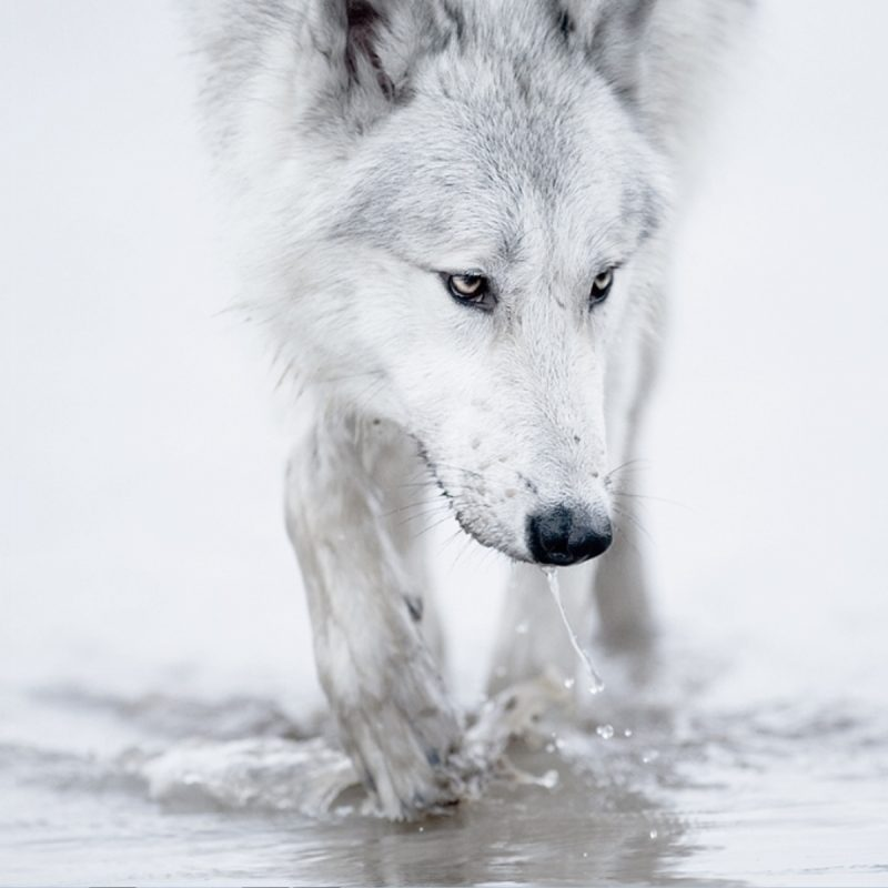10 Most Popular White Wolf Wallpaper 1920X1080 FULL HD 1920×1080 For PC Background 2021 free download white wolf desktop wallpaper hd high quality for iphone best 800x800