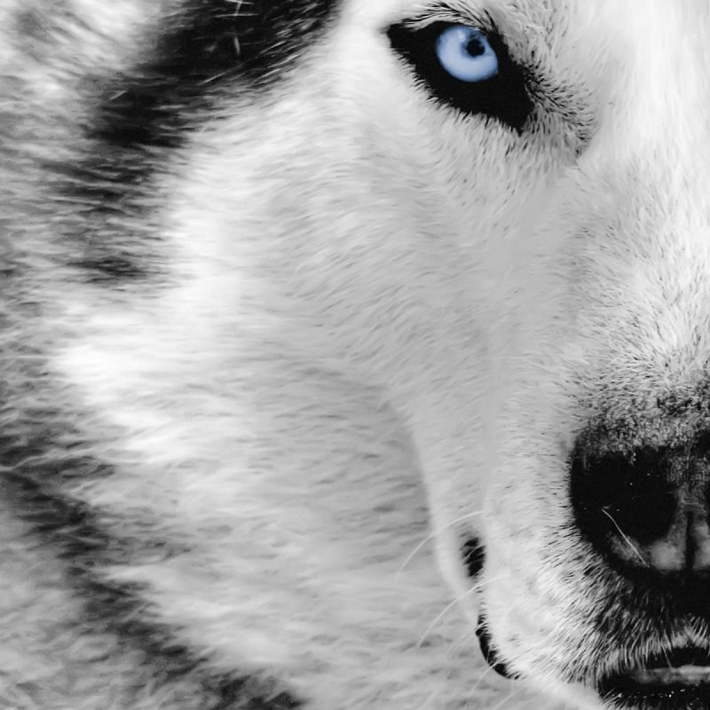 10 Latest Wolf Backgrounds For Desktop FULL HD 1080p For PC Desktop 2020 free download white wolf desktop wallpaper hd photos high quality resolution of 1 800x800