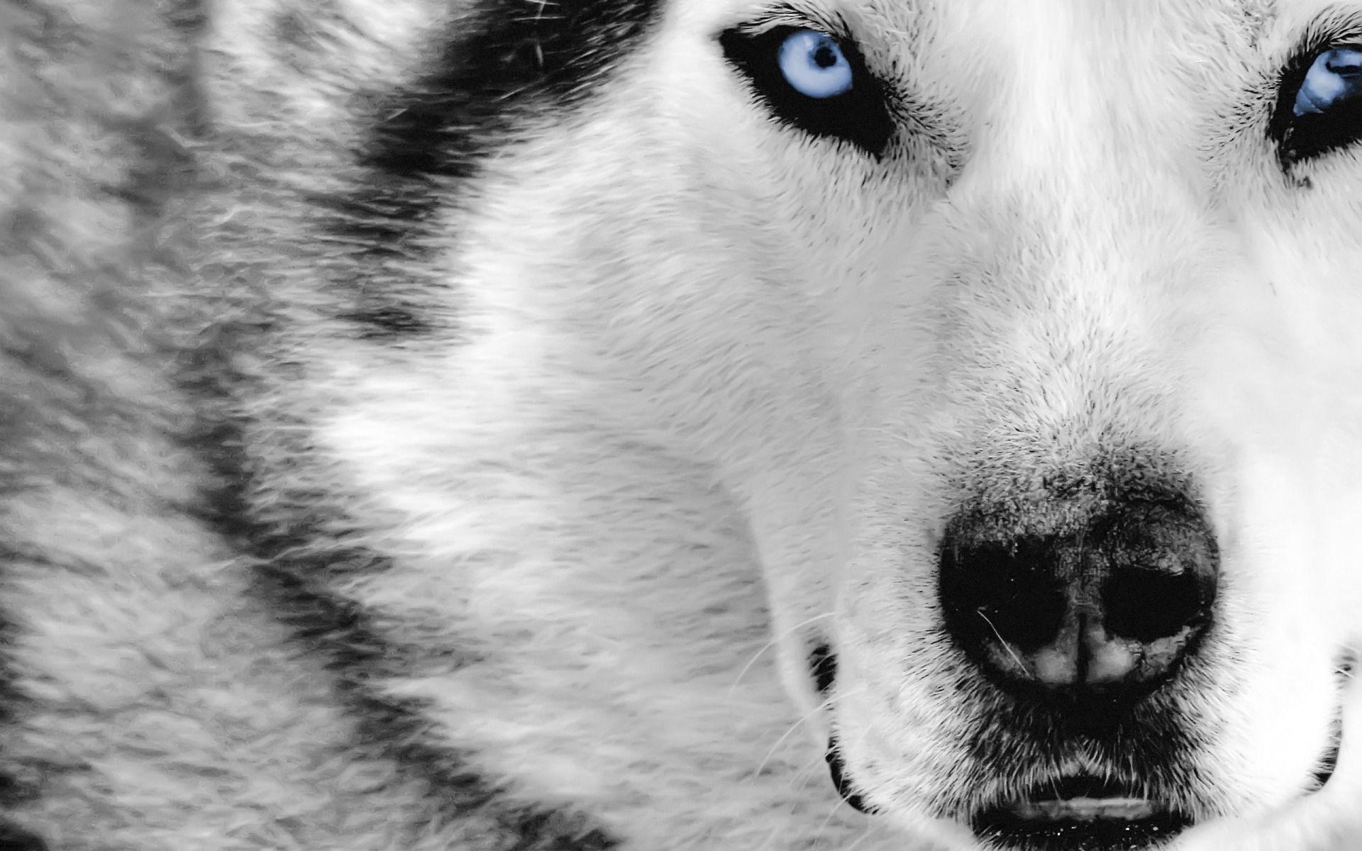 white wolf desktop wallpaper hd photos high quality resolution of