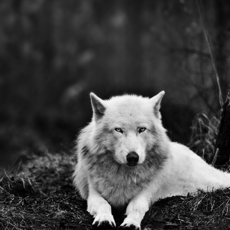 10 Latest Black And White Wolf Wallpaper FULL HD 1080p For PC Desktop 2021 free download white wolf wallpaper hd wallpaper wallpaperlepi 2 800x800