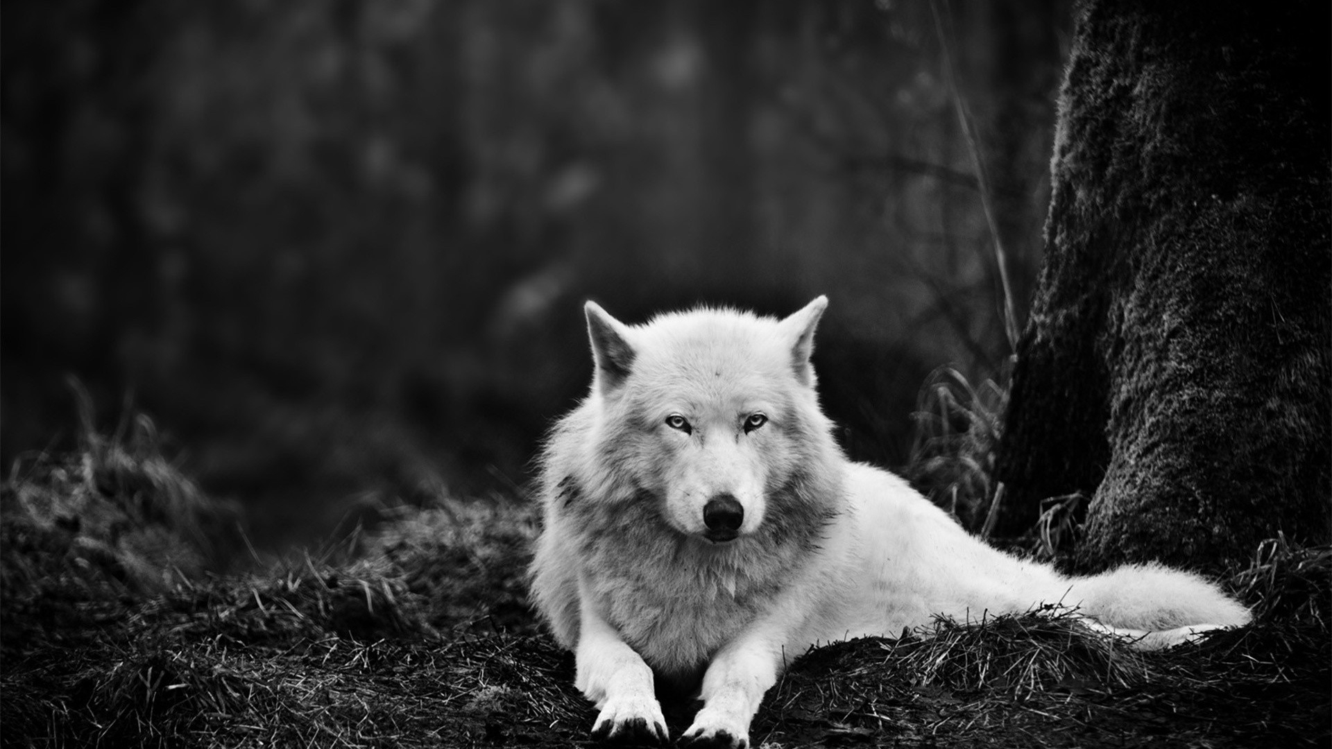white wolf wallpaper hd wallpaper | wallpaperlepi
