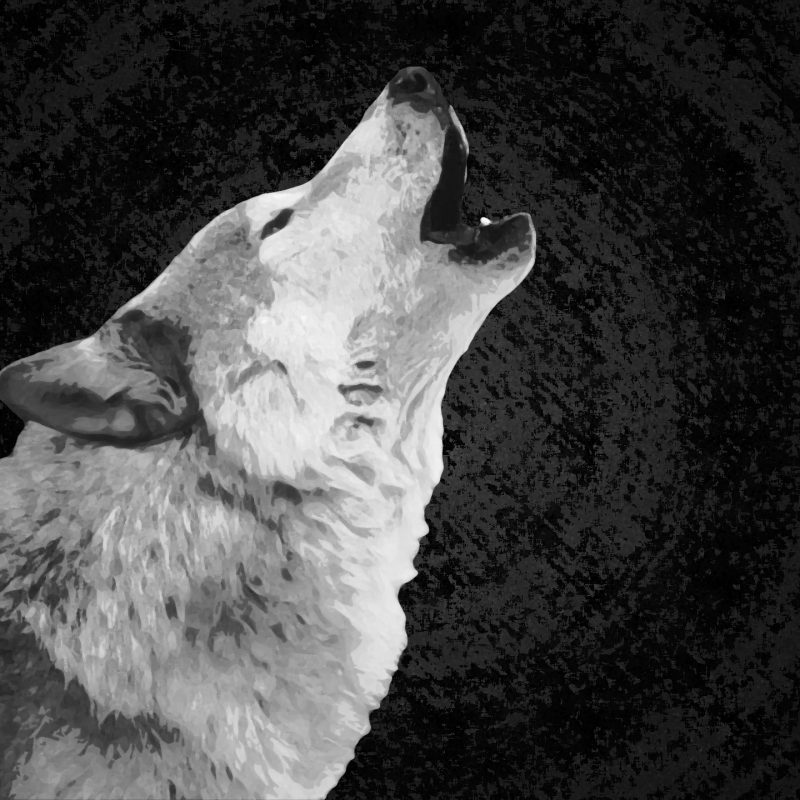 10 Latest Black And White Wolf Wallpaper FULL HD 1080p For PC Desktop 2021 free download white wolf wallpaper on widescreen backgrounds high quality of 800x800