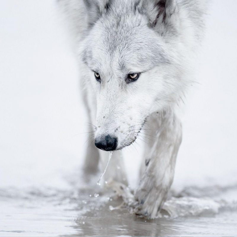 10 Most Popular White Wolf Wallpaper 1920X1080 FULL HD 1920×1080 For PC Background 2021 free download white wolf wallpapers wallpaper cave 800x800