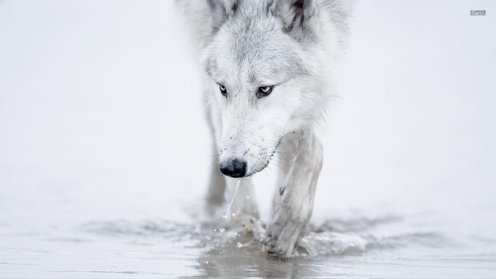 white wolf wallpapers - wallpaper cave