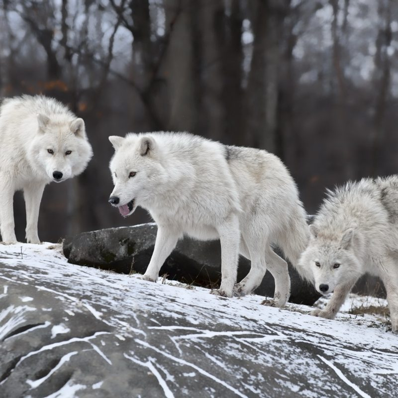 10 Latest Wolf Pack Wallpaper 1920X1080 FULL HD 1080p For ...