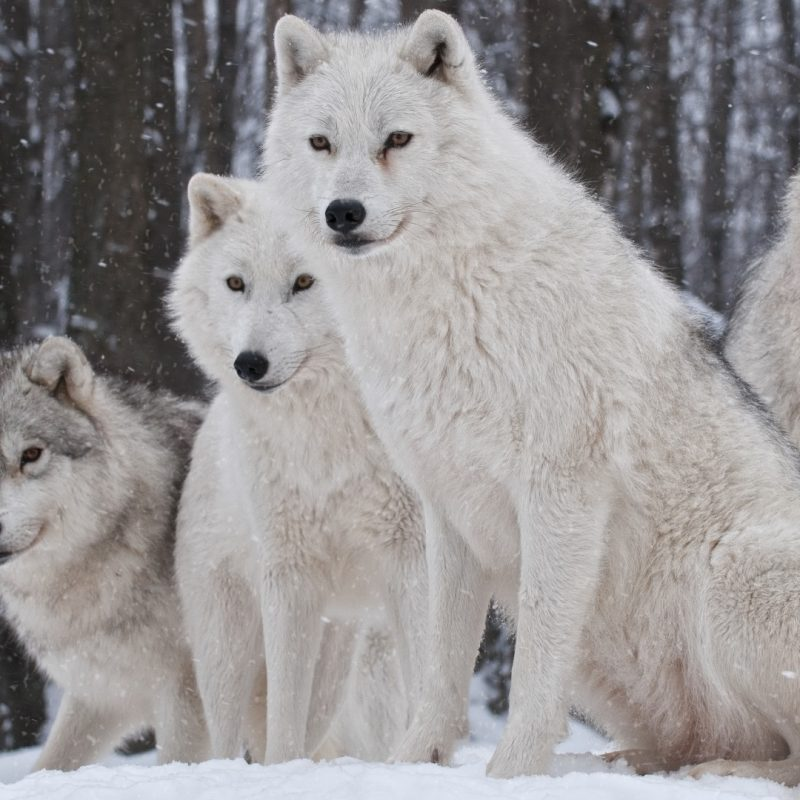 10 Latest Wolf Pack Wallpaper 1920X1080 FULL HD 1080p For PC Desktop 2018 free download white