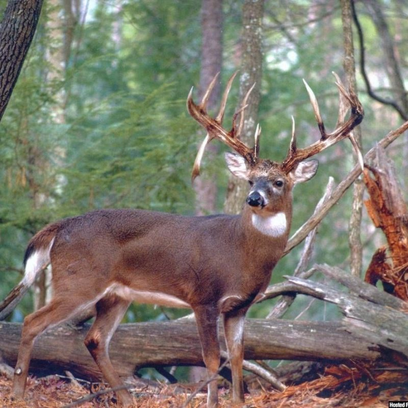 10 Most Popular Monster Whitetail Buck Pictures FULL HD 1080p For PC Desktop 2018 free download whitetail buck photography google search whitetail deer 800x800