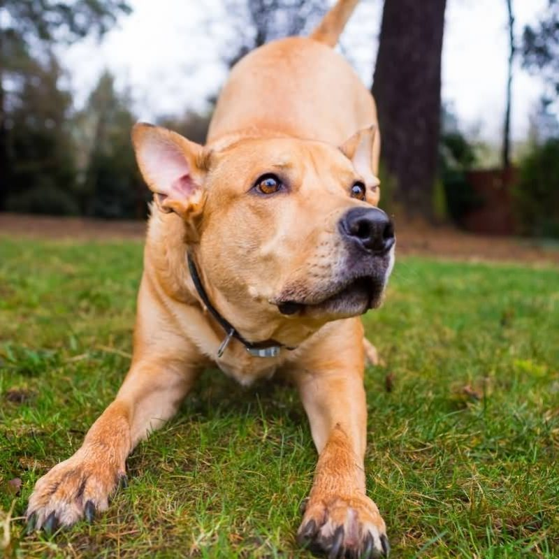10 Latest Light Brown Red Nose Pitbull FULL HD 1080p For PC Desktop 2021 free download why is the pitbull lab mix aka labrabull such a great dog animalso 800x800