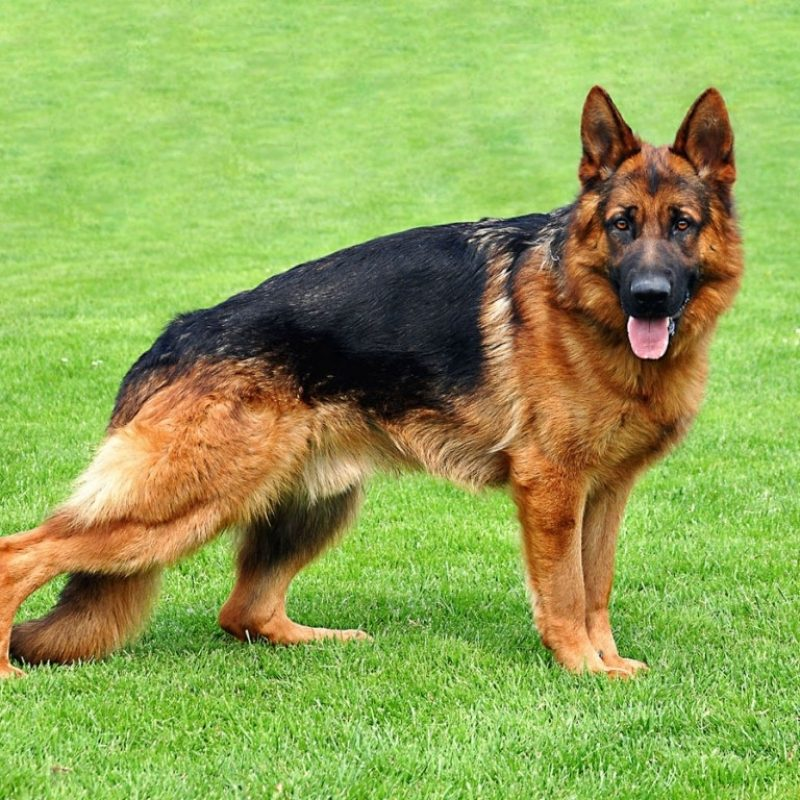 10 Most Popular German Shepherd Dog Images Hd FULL HD 1920×1080 For PC Background 2020 free download widescreen german shepherd dog best hd wallapers for with dogs 800x800