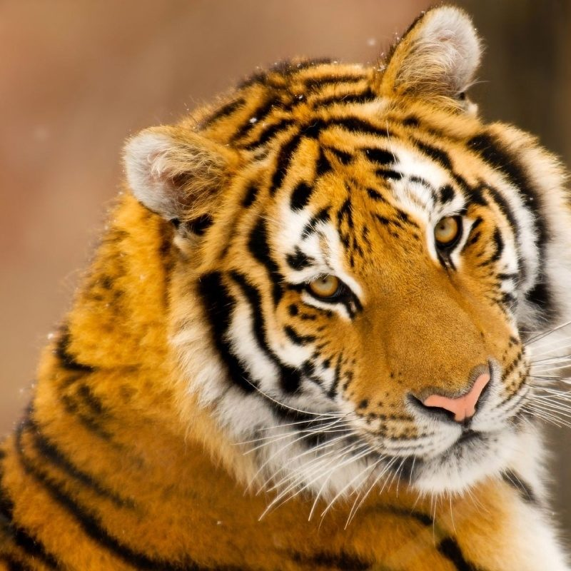 10 Best Wild Animal Wall Paper FULL HD 1080p For PC Desktop 2018 free download wild animal wallpapers 100 full hdq wild animal backgrounds 800x800