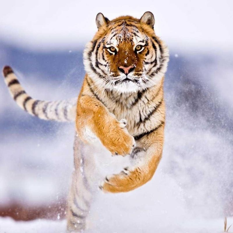 10 Best Wild Animal Wall Paper FULL HD 1080p For PC Desktop 2018 free download wild animals wallpapers wallpaper cave 800x800
