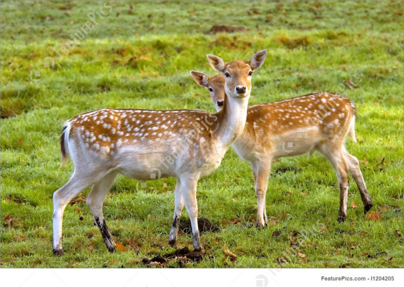 10 Latest Images Of Deers FULL HD 1920×1080 For PC Desktop 2021 free download wildlife animals two deers stock image i1204205 at featurepics 800x569