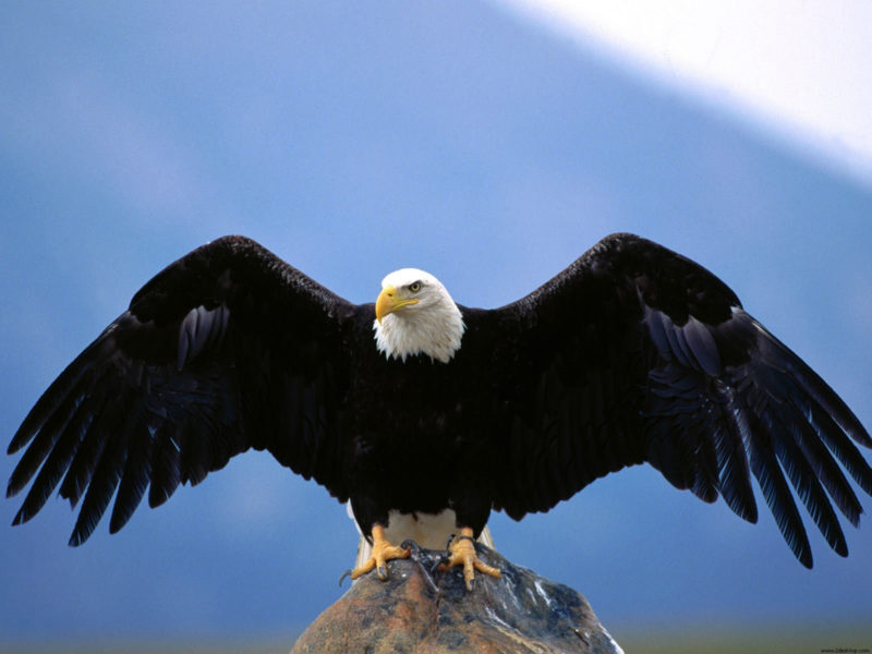 10 Most Popular Bald Eagle Hd Wallpapers FULL HD 1920×1080 For PC Background 2021 free download wingspan bald eagle wallpapers hd wallpapers id 4865 800x600