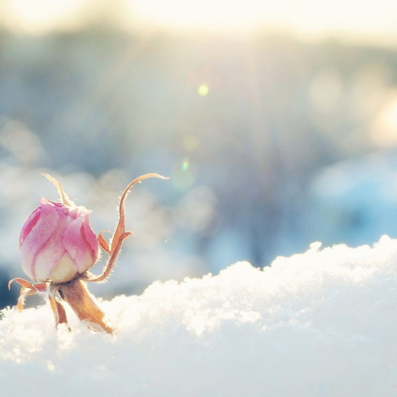 10 Latest Winter Flowers Wallpaper Backgrounds FULL HD 1920×1080 For PC Background 2018 free download winter flowerswallpaperspictures flowers pinterest winter 800x800