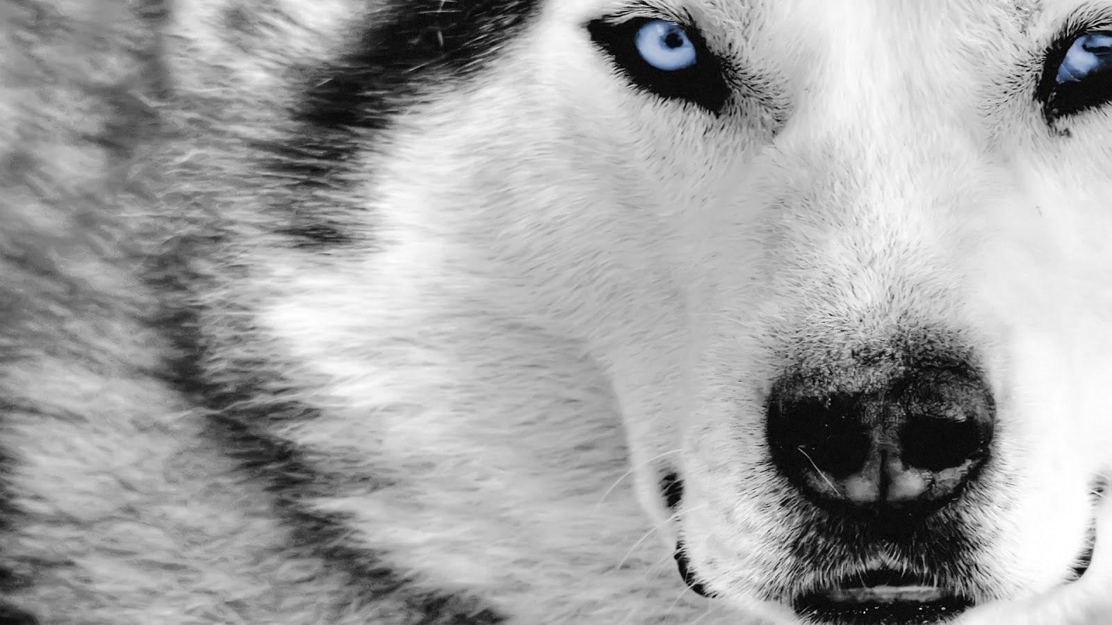 wolf 1080p hd wallpaper | latest hd wallpapers | para ser melhor