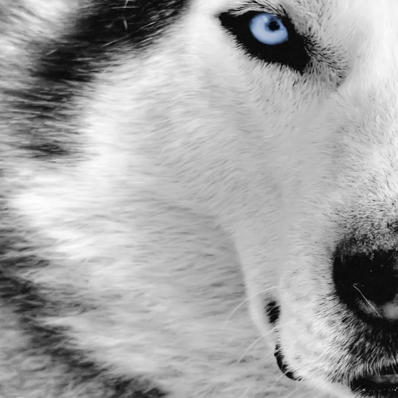 10 Most Popular Hd Wolf Wallpapers 1080P FULL HD 1080p For PC Desktop 2020 free download wolf 1080p hd wallpaper latest hd wallpapers para ser melhor 800x800