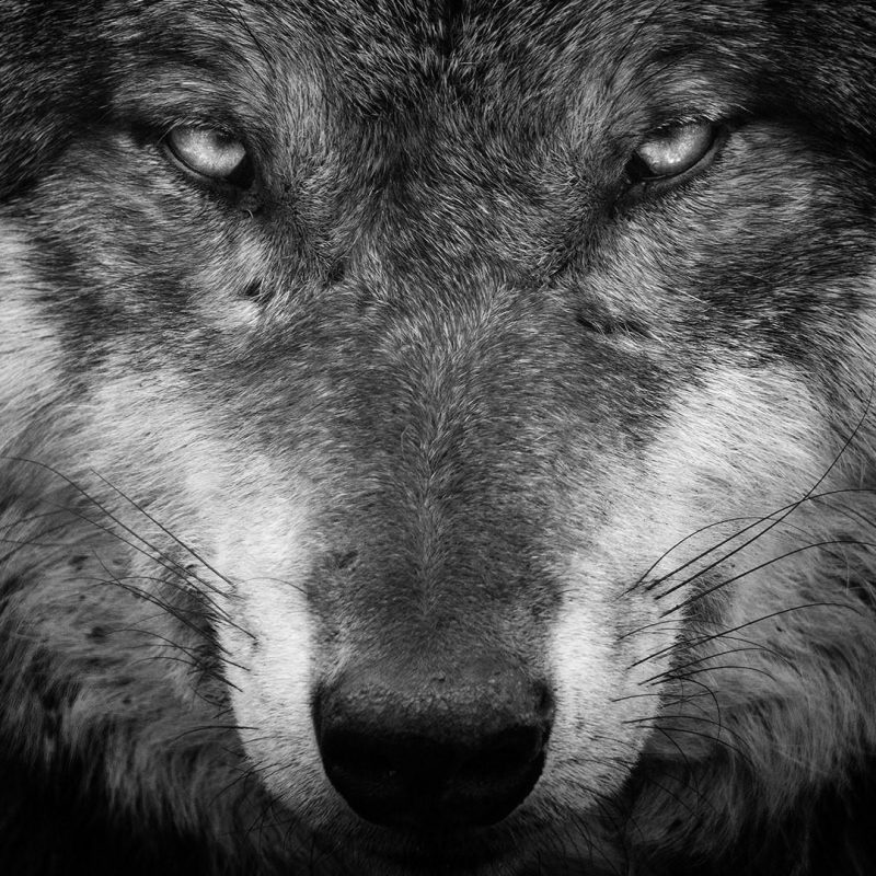 10 Latest Black And White Wolf Wallpaper FULL HD 1080p For PC Desktop 2021 free download wolf black and white portrait wallpaper wallpaper studio 10 tens 800x800