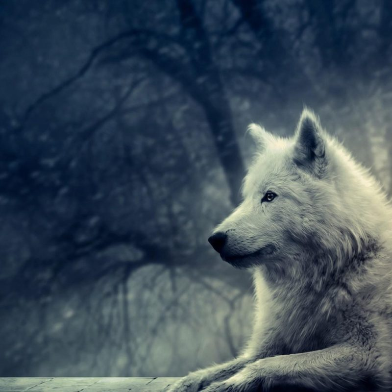 10 Latest Wolf Backgrounds For Desktop FULL HD 1080p For PC Desktop 2018 free download wolf desktop backgrounds pictures wallpaper cave 800x800