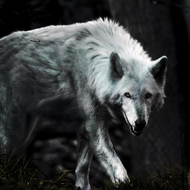 10 Top Free Wolf Wallpaper For Android FULL HD 1080p For PC Desktop 2020 free download wolf hd wallpapers free android apps on google play hd wallpapers 800x800