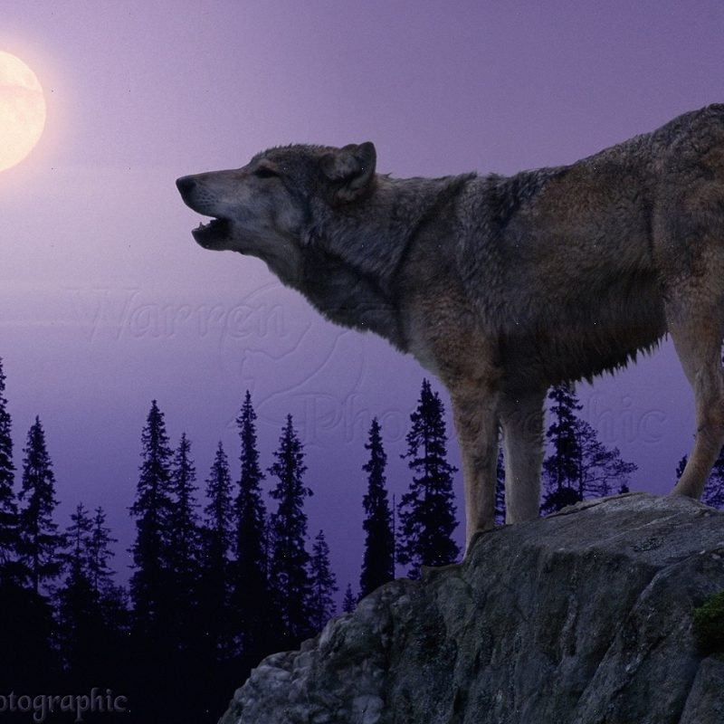10 Latest Images Of Wolves Howling At The Moon FULL HD 1080p For PC Desktop 2020 free download wolf howling at the moon photo wp05386 800x800
