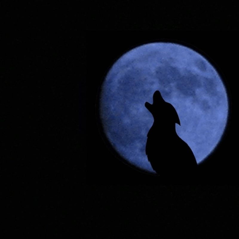 10 Latest Werewolf Howling At The Moon Pictures FULL HD 1080p For PC Desktop 2020 free download wolf howling moonnamari on deviantart 800x800